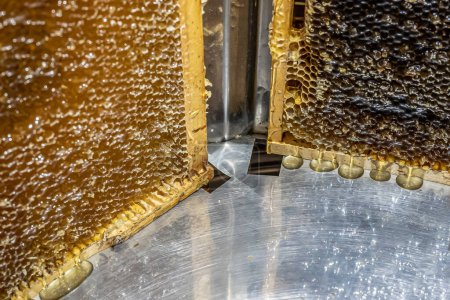 Extracting honey, honey flowing out of a centrifug...