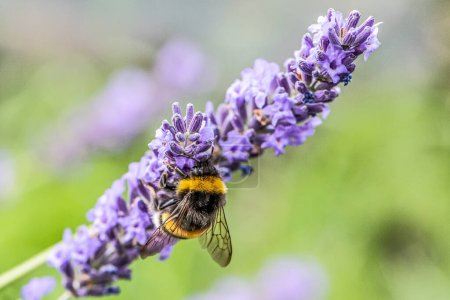 Photo for Bumblebee on a Blooming purple lavender flower and green grass in meadows or fields Blurry natural background Soft focus. - Royalty Free Image