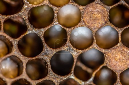 Photo for Honey bee beehive Wax Frame with bees breed, eggs and worms next generation. - Royalty Free Image