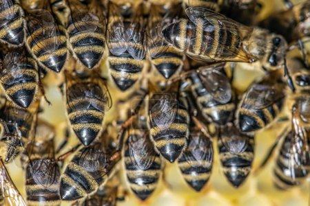 Photo pour Macro gros plan d'abeilles sur cadre en cire nid d'abeille dans la ruche ruche d'abeille domestique avec foyer sélectif. - image libre de droit
