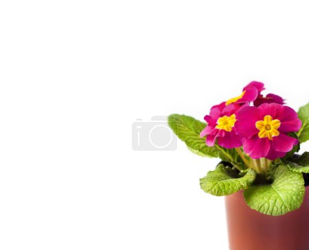 Photo pour Fleur Primula rose en pot isolé sur fond blanc. Endroit pour le texte. Concept de printemps - image libre de droit