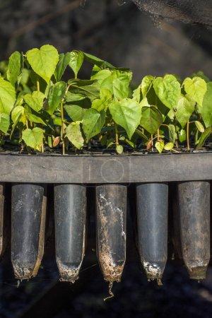 Seedlings for reforestation project in Biological Refuge Bela Vista, Parana State, South Brazil