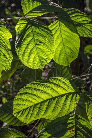 Close view of green leaves in Biological Refuge Bela Vista, Parana State, South Brazil