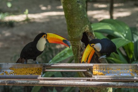 Toco-Tukane füttern im Vogelpark in foz do iguacu, Paranastaat, Südbrasilien