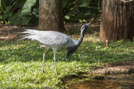 Demoiselle Crane in Birds Park in Foz do Iguacu, Parana State, South Brazil