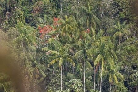 Beautiful green Atlantic Rainforest landscape with palm trees in Itatiaia National Park, Serra da Mantiqueira, Rio de Janeiro, Brazil