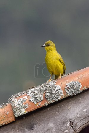 Beautiful Atlantic Rainforest yellow bird (Olive-green Tanager, Orthogonys chloricterus) in Itatiaia National Park, Serra da Mantiqueira, Rio de Janeiro, Brazil