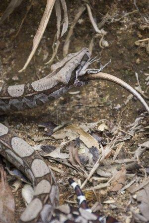 Photo pour Boa Constrictor serpent lézard manger dans la forêt tropicale atlantique, parc National forêt de Tijuca, Rio de Janeiro, Brésil - image libre de droit