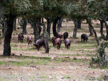 Foto de Cerdos ibéricos pastando y comiendo bellotas en las dehesas de Salamanca, España - Imagen libre de derechos