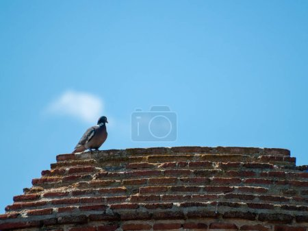 Photo pour Dove  bird perching, close up, wild life - image libre de droit