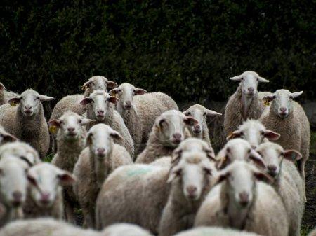 Foto de Un rebaño de ovejas, corderos y carneros en una granja de alimentación - Imagen libre de derechos