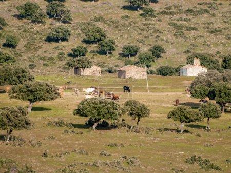 Photo pour Un troupeau de vaches broutant sur la ferme en Espagne. agriculture - image libre de droit