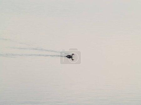 Photo pour Water bird, wild life. Fauna - image libre de droit