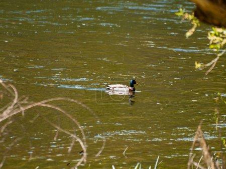 Photo pour Oiseau nageant dans l'eau dans une rivière - image libre de droit