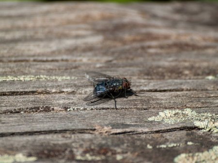 Photo for Big black fly, close up - Royalty Free Image