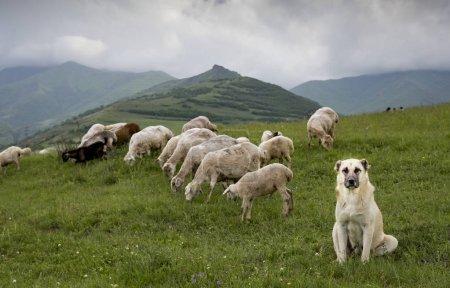 sheep on a green fields of rural Armenia