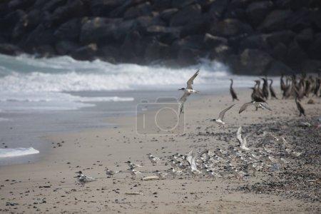 seagulls and cormorant birds sharing beach of Musandam in Oman