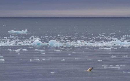 Photo pour Ours polaire nageant dans les eaux du Svalbard, à la recherche de nourriture - image libre de droit