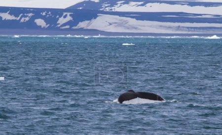 Photo pour Belle queue de baleine près de la côte du Svalbard - image libre de droit