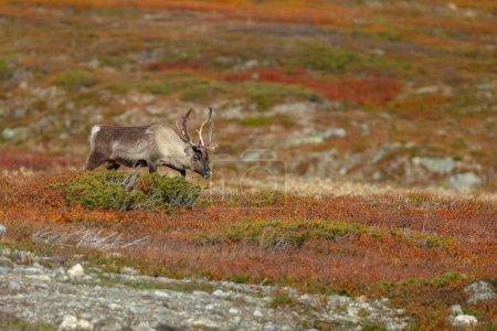 Photo pour Renne dans le cadre de l'automne avec de belles couleurs d'automne - image libre de droit