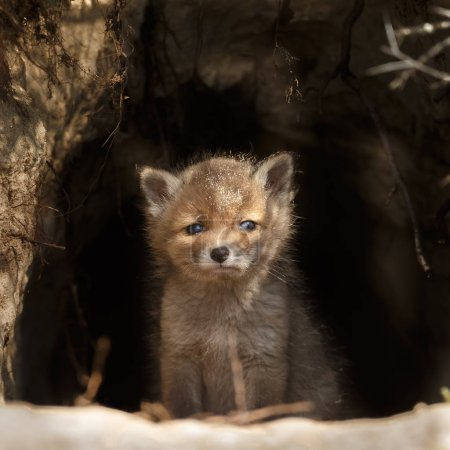 Red fox cub at the entrance of the den...