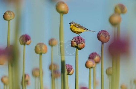 Photo pour Petit oiseau à queue d'aigle jaune dans l'habitat naturel - image libre de droit