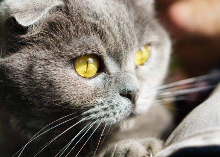 Photo pour Portrait de Gray britannique Scottish Fold Shorthair chat aux yeux jaunes - image libre de droit