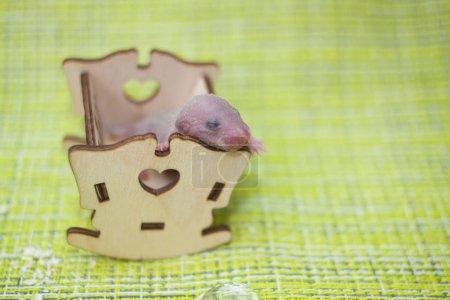 Photo pour Le concept du sommeil du bébé. Un petit rat dort dans un lit bébé. L'enfant souris n'avait pas encore ouvert les yeux. Rongeur nouveau-né . - image libre de droit