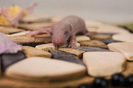 Photo pour Le concept de cécité. Le petit rat n'avait pas encore ouvert les yeux. Petit bébé souris. Rongeur nouveau-né . - image libre de droit