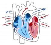 Blood flow of the heart diagram illustration
