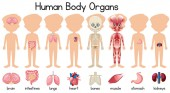 A set of human body organs illustration