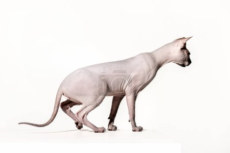side view of beautiful sphynx cat looking away isolated on white