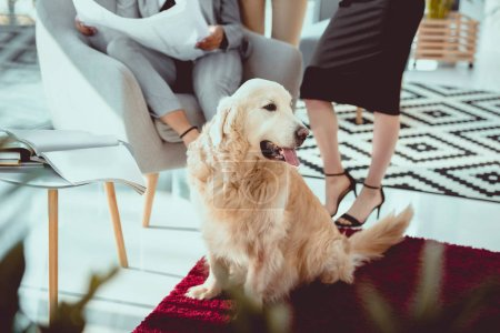 furry labrador sitting on red carpet at office space